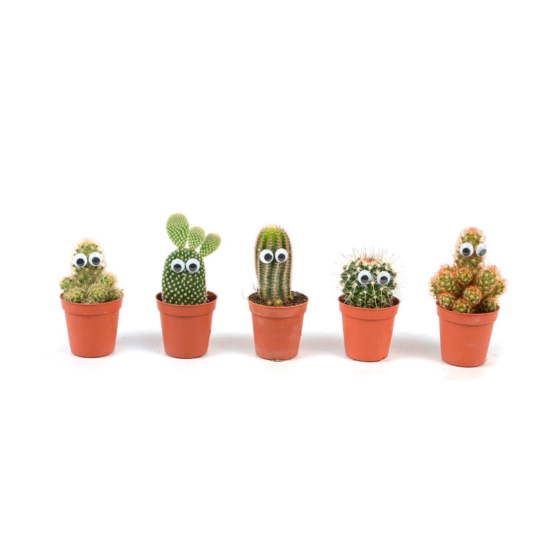 Kaktus Z Oczkami Nr 230