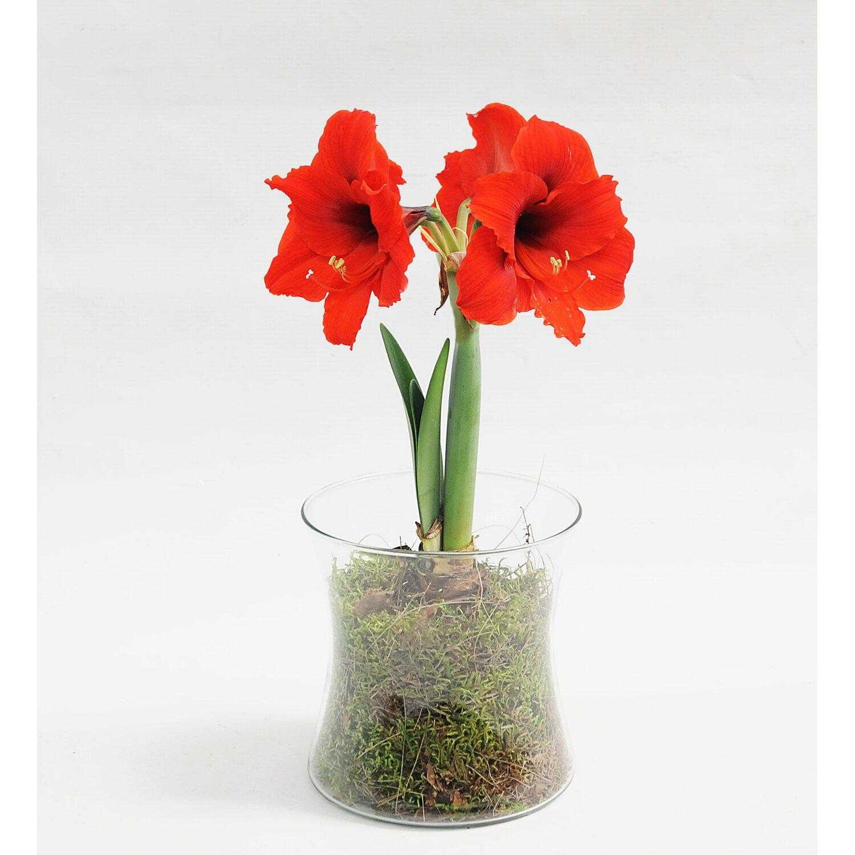 amarylis hippeastrum sp 1 pęd kwiatowy kupuj w obi