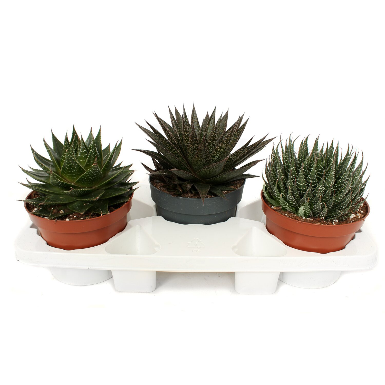 Genialny Aloes don. 17cm (Aloe sp.) kupuj w OBI PM01