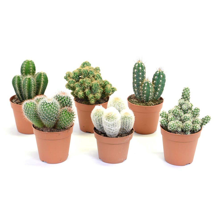 Kaktus Nr208