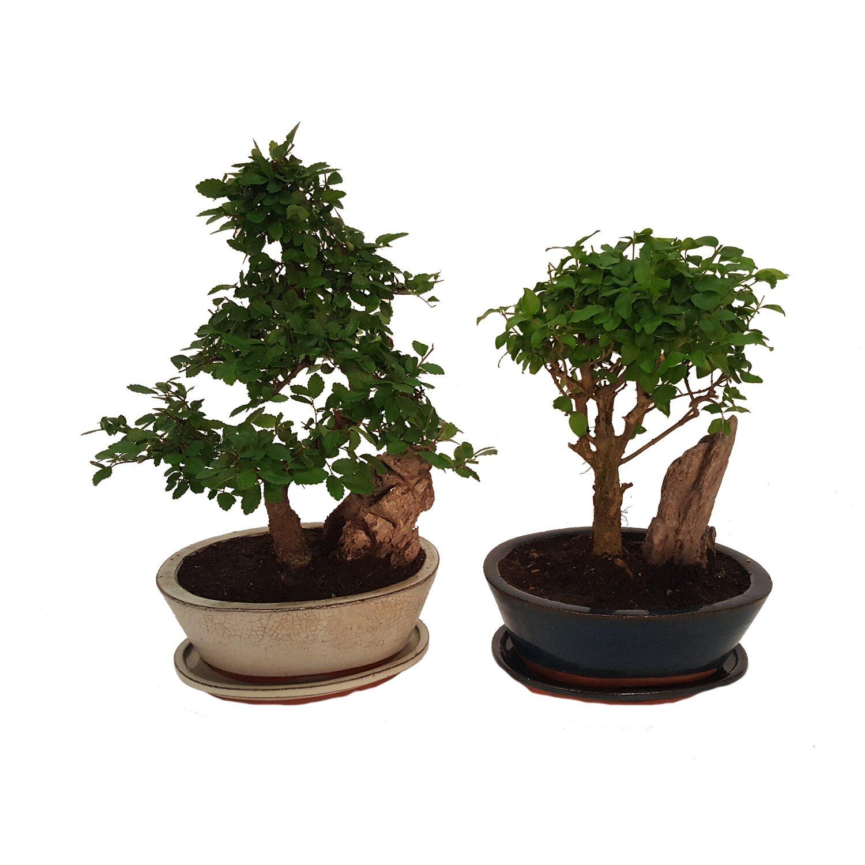 Bonsai Ze Skałą W Doniczce Ceramicznej Wys 30cm Don16cm Mix