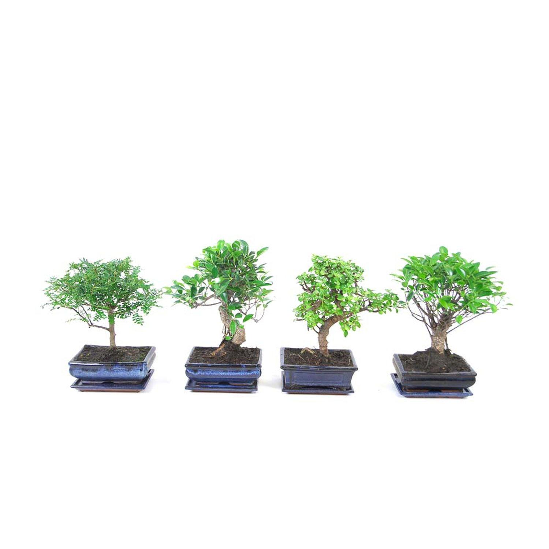 Drzewko Bonsai Poziome Z Podstawką Wysokość 25 Cm