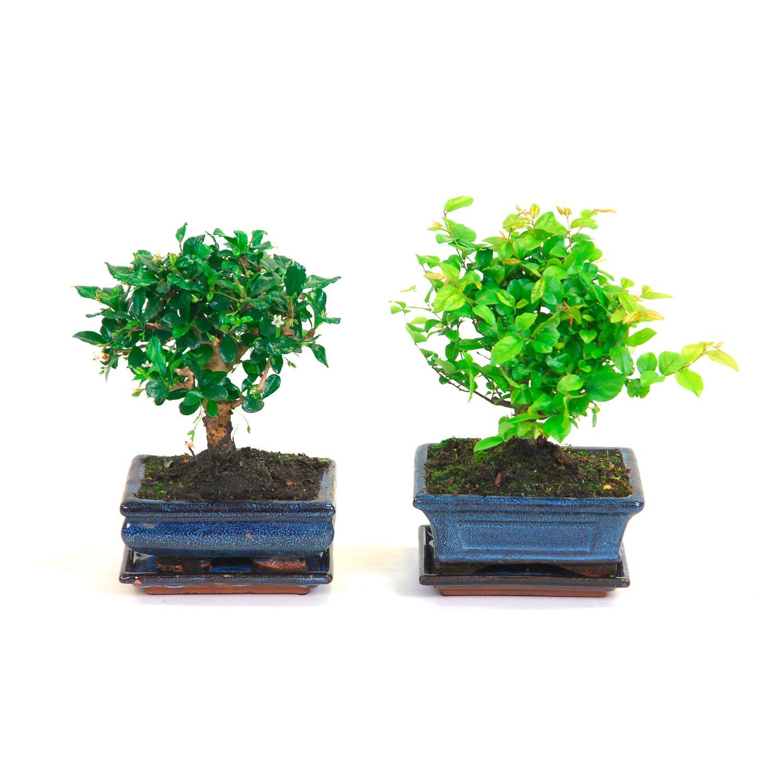 Drzewko Bonsai Z Podstawką Wysokość 20 Cm Kupuj W Obi