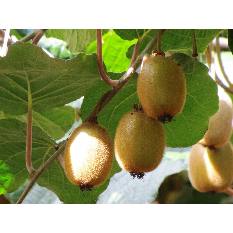 Aktinidia Smakowita Kiwi W Odmianach Actinidia Deliciosa