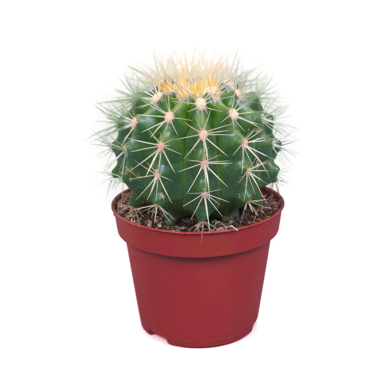 Echinokaktus Grusona Echinocactus Grusonii
