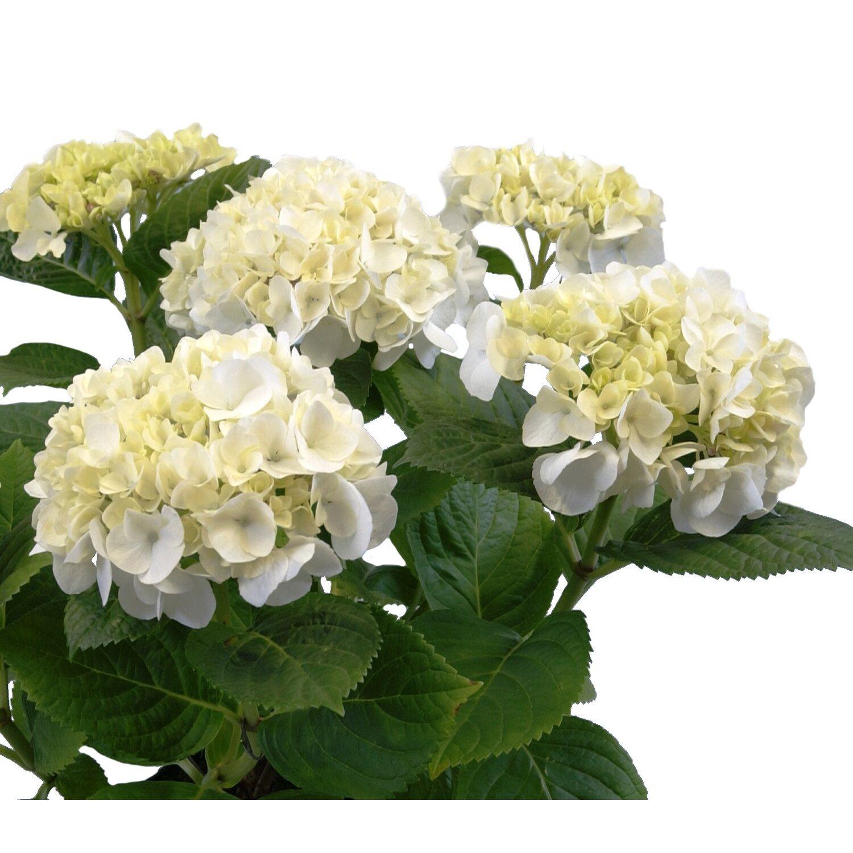 Hortensja Wielkokwiatowa 3 4 Kwiaty Hydrangea Macrophylla