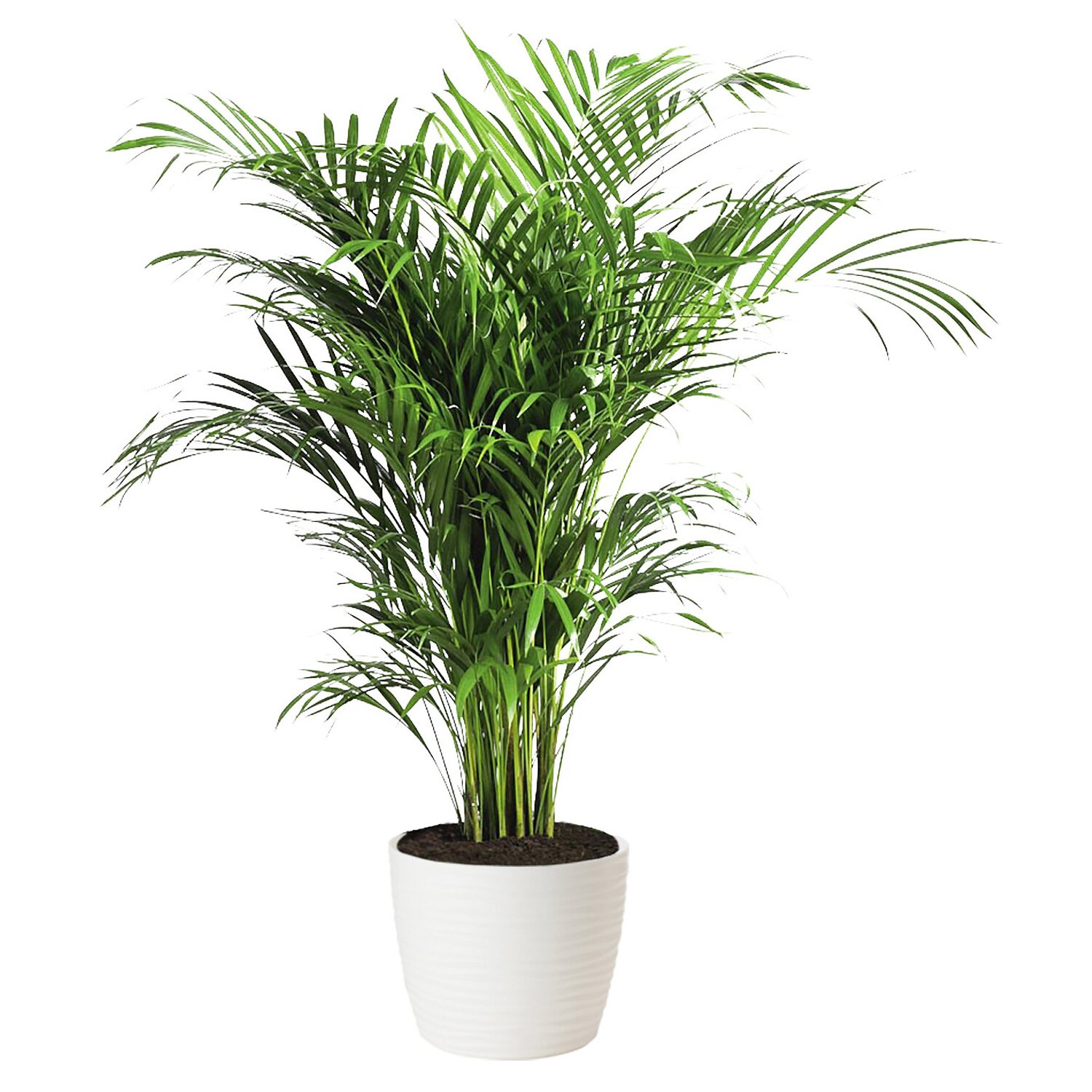 Image result for Areca Palma