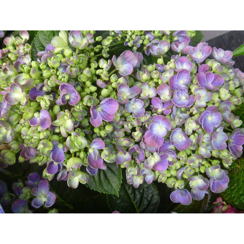Hortensja Ogrodowa Odmiany Specjalne Hydrangea Macrophylla Kupuj W Obi