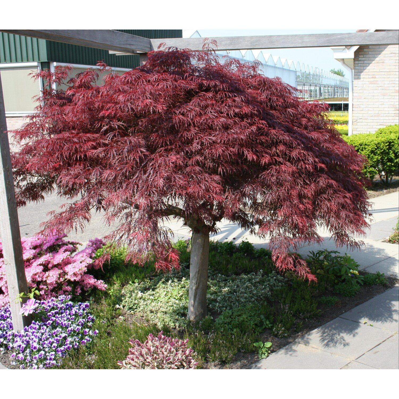 Rewelacyjny Klon palmowy (Acer palmatum) kupuj w OBI LH92