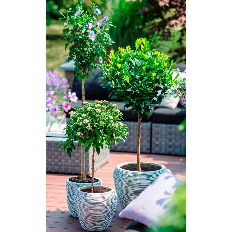 drzewka tarasowe wys ok 100cm kupuj w obi