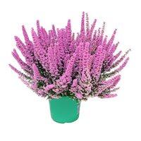 4 Flower Wrzosiec Beauty Queens (Erica gracilis)
