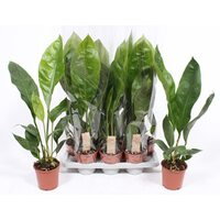Anthurium Jungle King wys. 65-70cm don.17cm