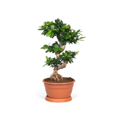 Figowiec tępy Ginseng (Ficus microcarpa)