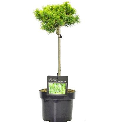 Iglaki w formie drzewka