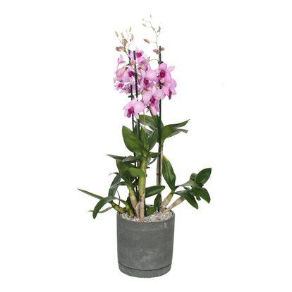 Storczyk Dendrobium Sa-Nook w osłonce