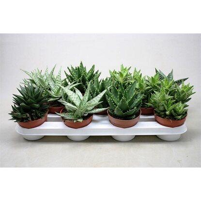 Bardzo dobry Aloesy różne odmiany (Aloe sp.) kupuj w OBI QW92