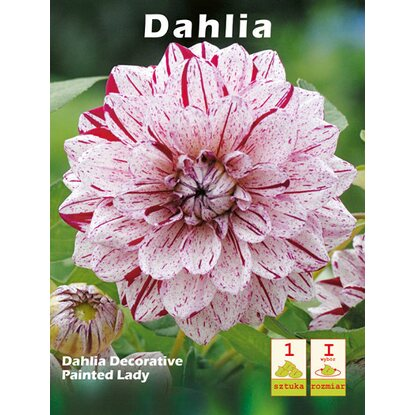Dailia Painted Lady 1szt
