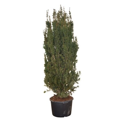 Cis odm. Hicksii (Taxus sp.)