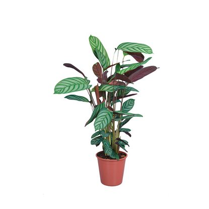 Kalatea (Calathea sp.)