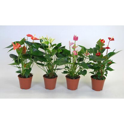 Anthurium Andrea mix wys. 50cm don. 14cm