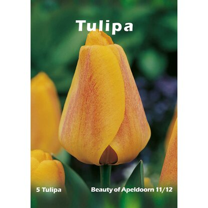 Tulipan Beauty of  Apeldoorn 5szt