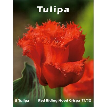 Tulipan Red Riding Hood Crispa 5szt