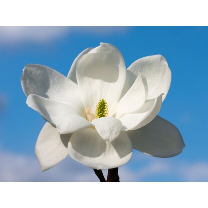 Magnolia Double Diamond wys60-80cm don.29cm
