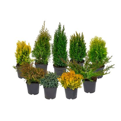 Iglaki (Conifers) wys. 20-50 cm don. 17 cm mix