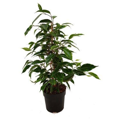 Figowiec benjamiński (Ficus benjamina), wys. 40cm, don.12cm