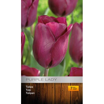 Tulipan Purple Lady 7szt