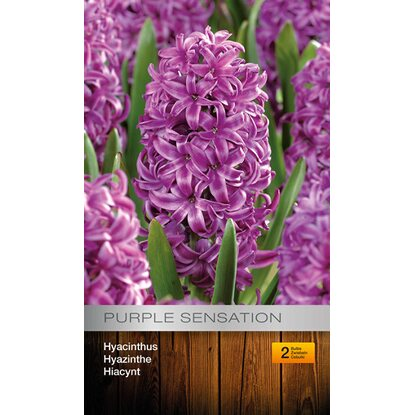 Hyacint Purple Sensation 2szt