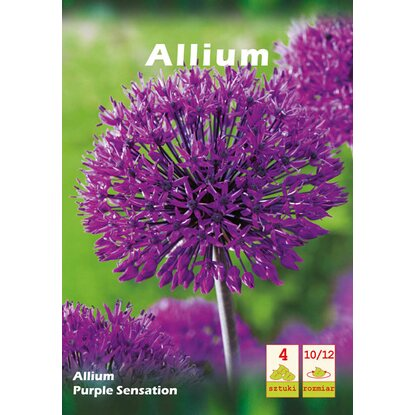 Allium Purple Sensation 4szt