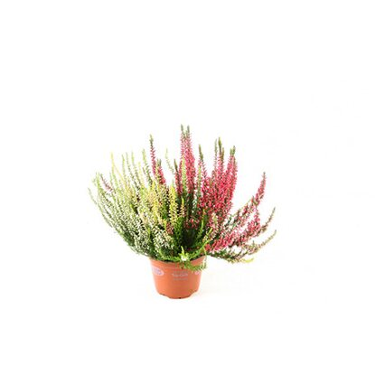 Wrzos Calluna vulgaris G.Girls Trio 35cm don.12cm