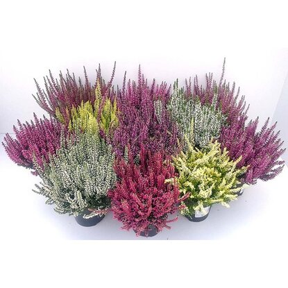 Wrzos Calluna vulgaris B.Ladies mix 25cm don.13cm