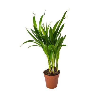 Palma Areka (Areca Dypsis) wys. 30-40cm, don.9cm