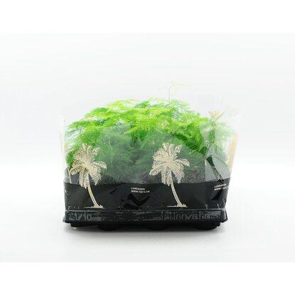 4Flower Asparagus (Asparagus setaceus plumosus) mix don. 6cm