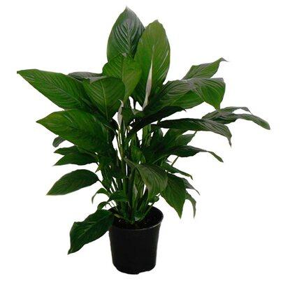 Skrzydłokwiat XXL (Spathiphyllum sp. )