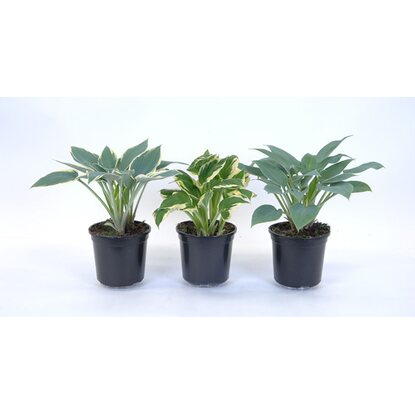 Hosta mix wys. 25cm don. 15cm