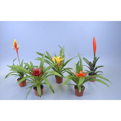 Bromelia adventure mix wys. 30cm don. 9cm