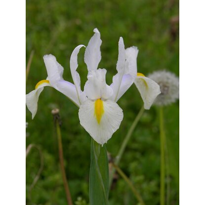 Kosaciec holenderski White (Iris hollandica sp.)