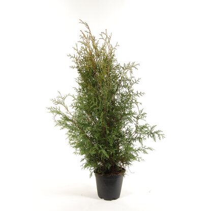 Tuja odm. Brabant (Thuja occidentalis)