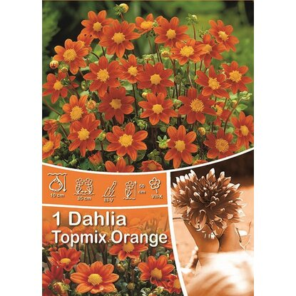 Dalia odm. Topmix Orange (Dahlia sp.)