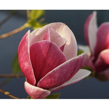 Magnolia odm. Satisfaction (Magnolia sp.)