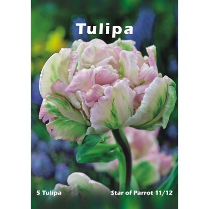 Tulipan odm. Star of Parrot (Tulipa sp.)