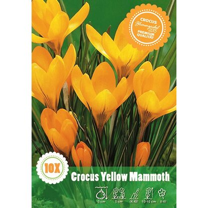 Krokus odm. Yellow Mammoth (Crocus sp.)