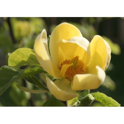 Magnolia Yellow River wys. 60-80cm don.29cm