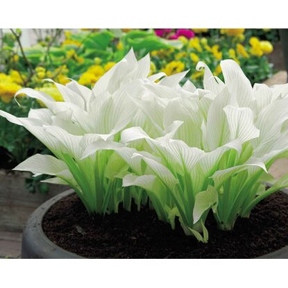 Funkia White Feather (Hosta sp.)