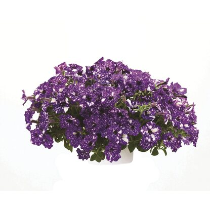 Petunia odm. Night Sky (Petunia sp.)