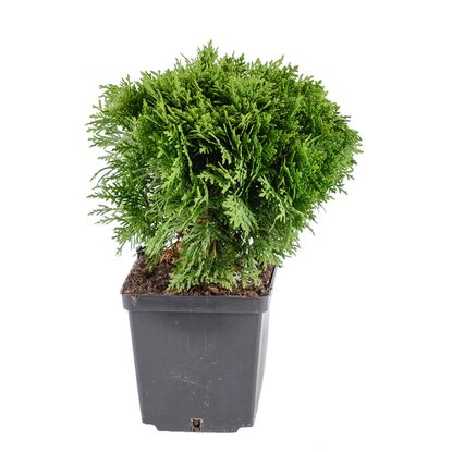 Tuja odm. Danica (Thuja occidentalis)