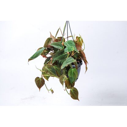 Filodendron pnący (Philodendron scandens) Miscans wiszacy don. 15cm